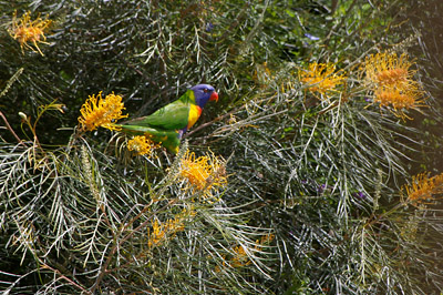 lorikeet feeding in Grevillea Honey Gem